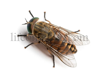 Horsefly viewed from up high, Tabanus, isolated on white