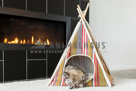 husky puppy sleeping with head out of little stripped tent next to fireplace