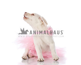 Cream Laborador Puppy wearing pink tutu and pink flower collar laying on white howling