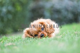 Cavalier king charles spaniel puppy chewing