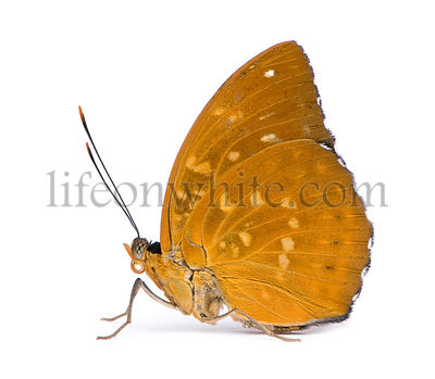 Lexias dirtea (female) butterfly