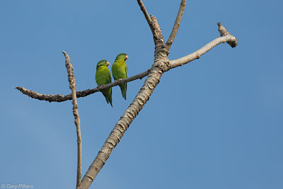 Orange Chinned Parakeets
