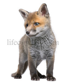 Red fox cub, 6 Weeks old, Vulpes vulpes, in front of a white background