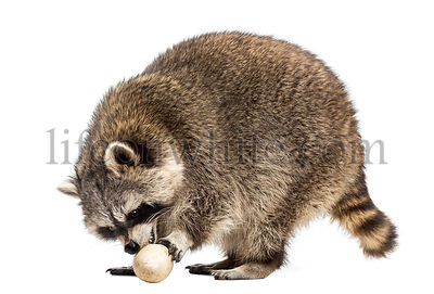 Raccoon, Procyon Iotor,  standing, eating an egg, isolated on white