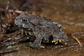Anaxyrus boreas - Western toad
