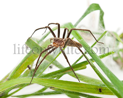Nursery web spider, Pisaura mirabillis, with spiderling in nest in front of white background