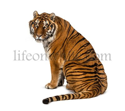 Back view of a Tiger sitting and looking back, isolated on white