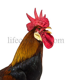 Belgian rooster against white background