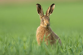 Brown Hare, Yorkshire