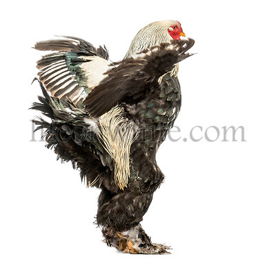 Side view of a Brahma Rooster flapping its wings, isolated on white