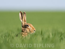 Brown Hare Lepus europaeus North Norfolk spring