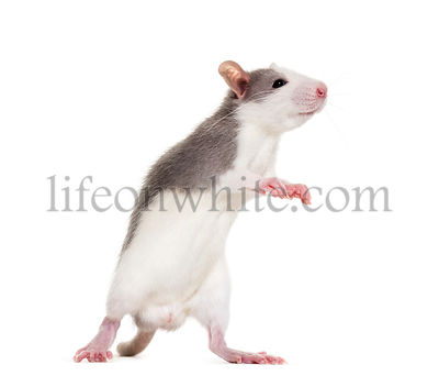 Young Rat rearing up to sniff against white background