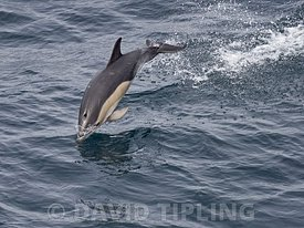 Common Dolphin, Delphinus delphis, Bay of Biscay, Spain, autumn