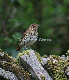 Song Thrush (Turdus philomelos) on a moss-covered limestone garden wall, Lake District National Park, Cumbria, England