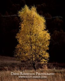 Image - Single Silver birch tree in autumn