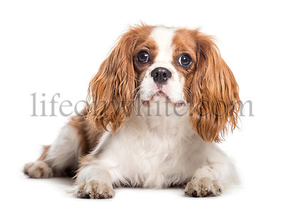 Cavalier King Charles Spaniel lying in front of white background