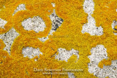 Image - Yellow foliose lichen on a boulder
