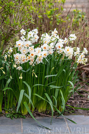 Narcisses en fleur dans un jardin, France, Pas de Calais, Printemps ∞ Daffodils (Narcissus sp) in bloom in a garden in spring...