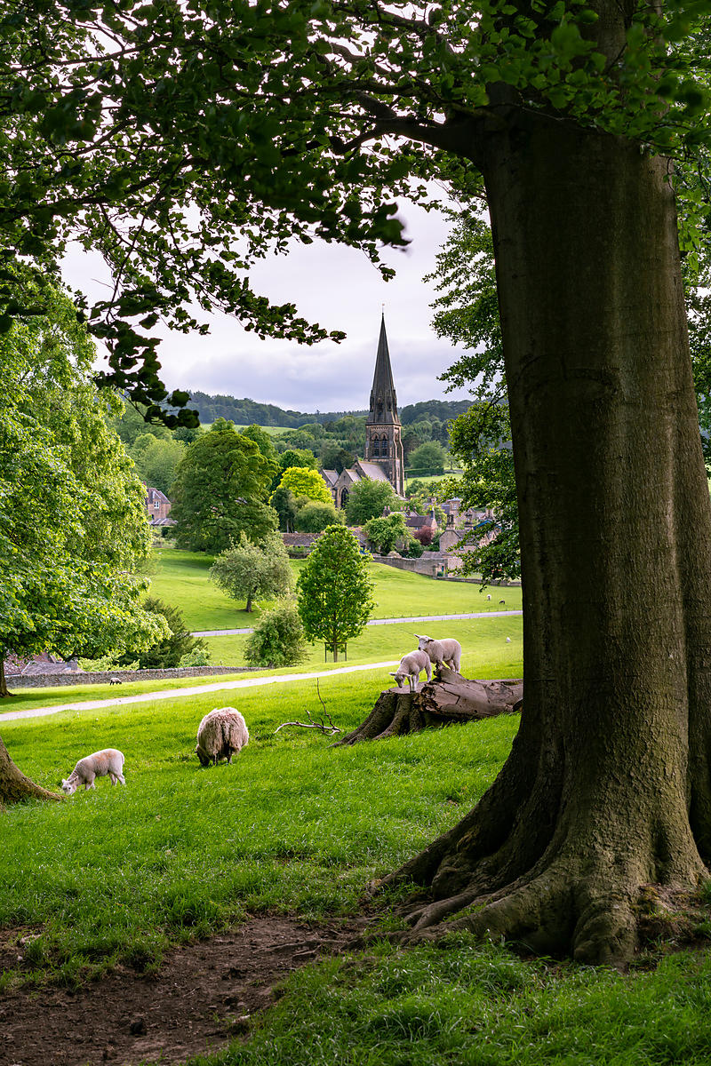 June lambs playing in Chatsworth park | Peak District Photography