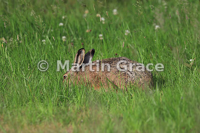 European Brown Hare (Lepus europaeus) grazing low to the ground in sunshine in a meadow, Cairngorm National Park, Scotland