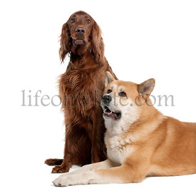 Irish Setter (3 years) and a akita inu (4years old)