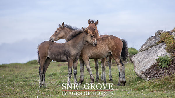 Dartmoor Foals at Play