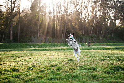 A jack russell terrier juping up to catch a toy in a grassy field