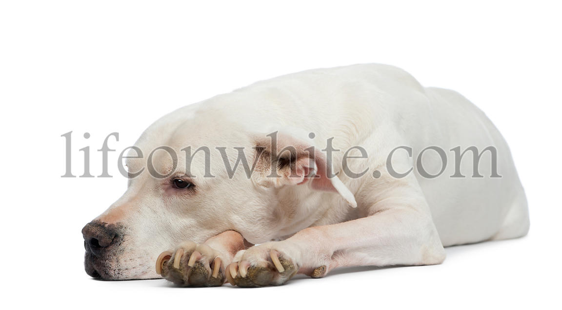 Dogo Argentino lying and looking away