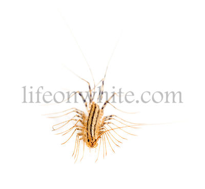 Yellowish-grey centipede, isolated on white