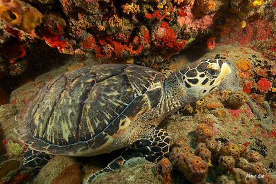 Hawkbill Turtle Saint-Barthélemy diving