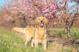 full body smiling golden retriever in front of row of  blooming pink trees