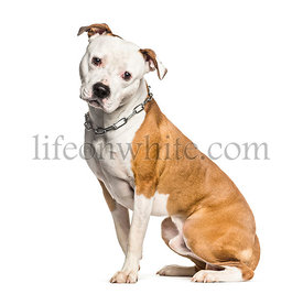 American Staffordshire Terrier sitting in front of white background