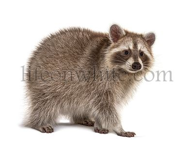 Brown Raccoon standing and looking away, isolated on white