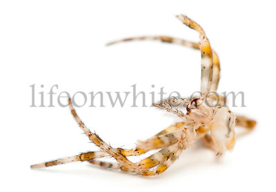 Moulting of European garden spider, Araneus diadematus, in front of white background