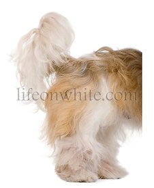Shih Tzu, 3 years old, standing behind white board against white background