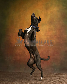 brown dog leaping to dancing on woven brown rug in studio with painted background
