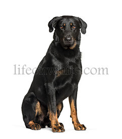 Beauceron sitting against white background