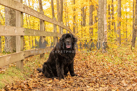 A black newfoundland dog on a hike through the woods in fall