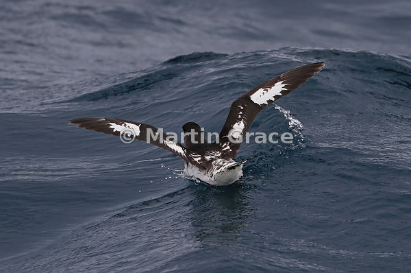 Cape Petrel (Daption capense) immediately after landing on the water, Kaikoura, Canterbury, South Island, New Zealand