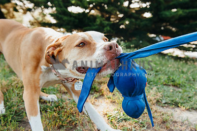 A large bully breed playing tug with a blue kong wubba toy
