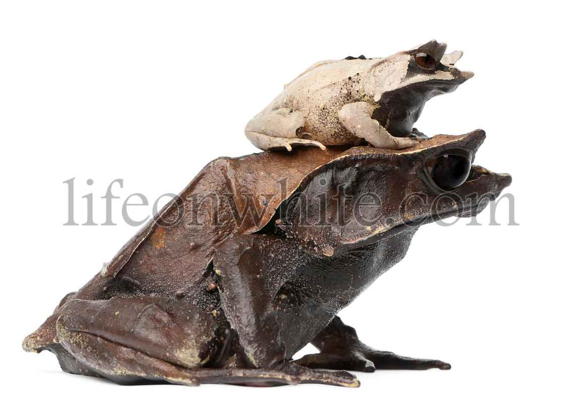 Mother Long-nosed Horned Frog and her young, 18 months old, Megophrys nasuta, in front of white background
