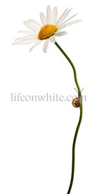 Garden snail, Helix aspersa, climbing stem in front of white background
