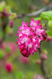 Fleur de Groseiller à fleurs dans un jardin, France, Pas de Calais, printemps ∞Flower of Blood currant (Ribes sanguineum) in ...