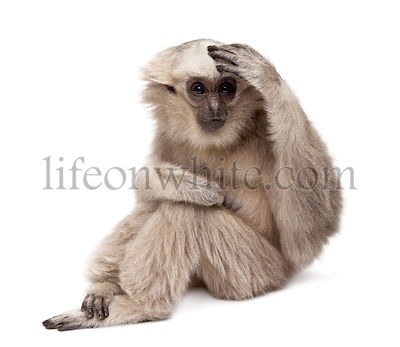 Young Pileated Gibbon (1 year old) - Hylobates Pileatus