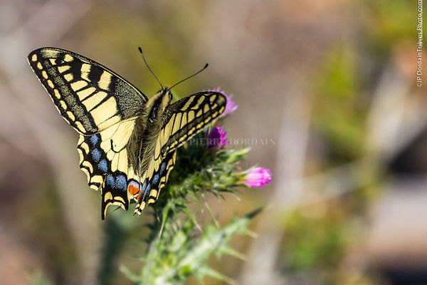 machaon-3