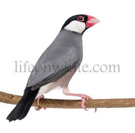Java Sparrow perched on a branch- Padda oryzivora - isolated on white