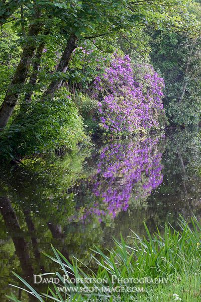 Image - Rhododendrons and the River Sorn, near Bridgend, Isle of Islay, Argyll, Scotland