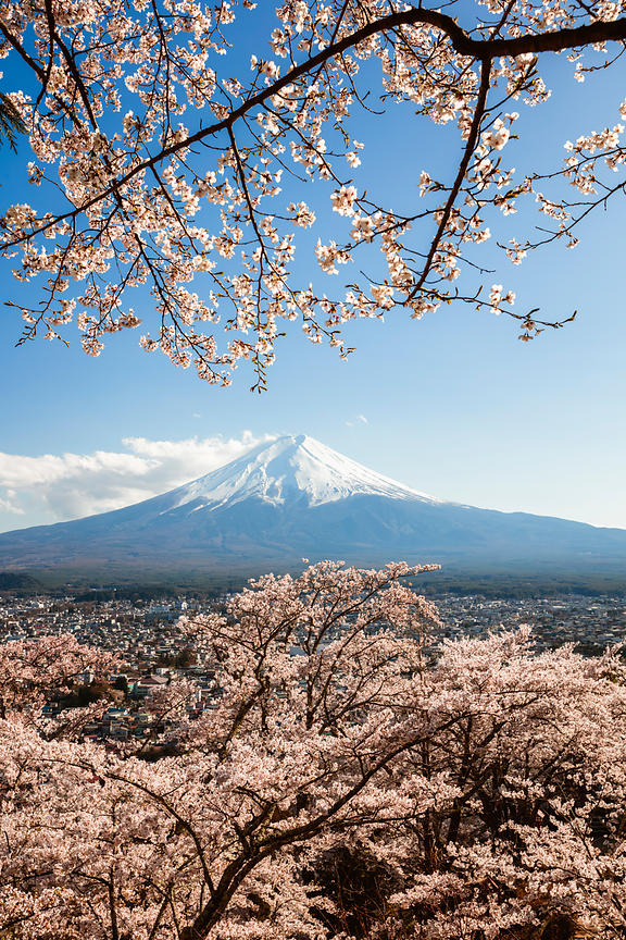Sakura at mt. Fuji