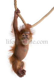 Baby Sumatran Orangutan, 4 months old, hanging from rope