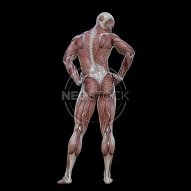 cg-body-pack-male-muscle-map-neostock-25